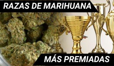 marihuana premiada