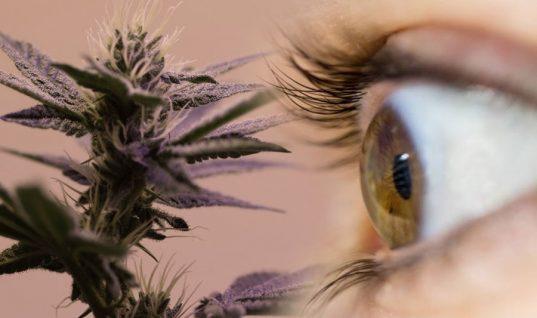 cannabis y glaucoma