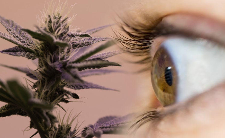cannabis and glaucoma