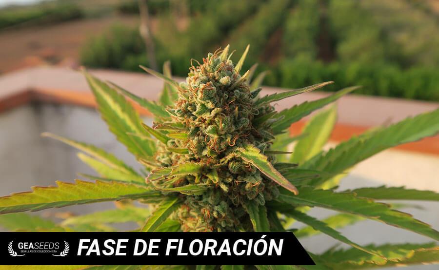 fase de floracion