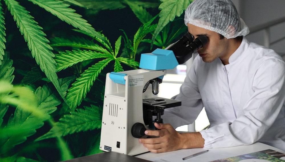 microescopio y cannabis