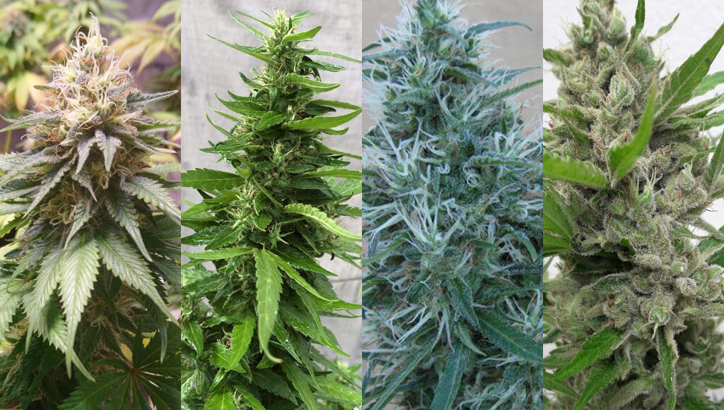 resistant marijuana strains