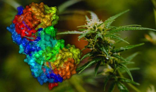 enzima marihuana