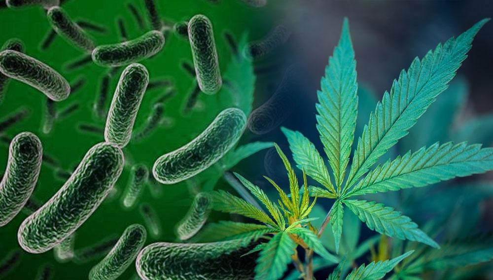 microorganismos marihuana