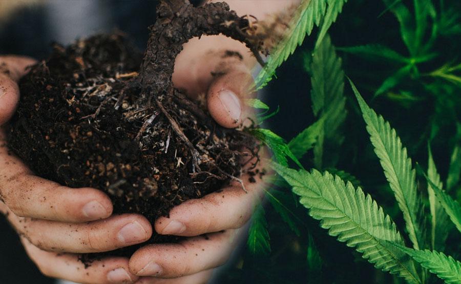 raíces marihuana