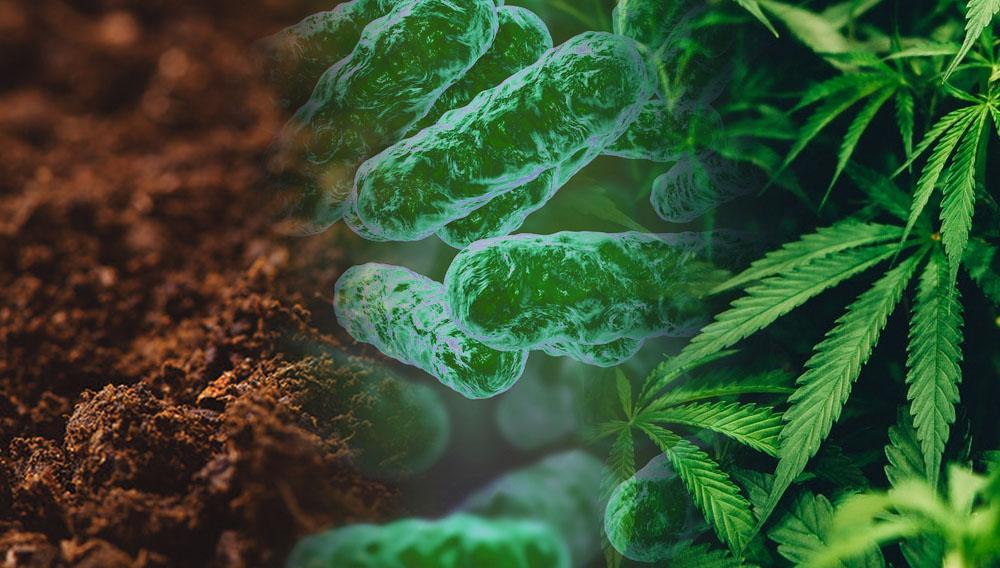 sustrato, microorganismo y marihuana