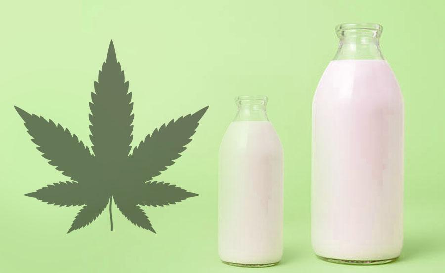 leche de marihuana