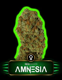 Amnesia Gea Seeds