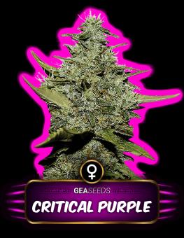 Critical Purple Gea Seeds
