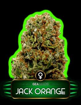 Jack Orange Gea Seeds