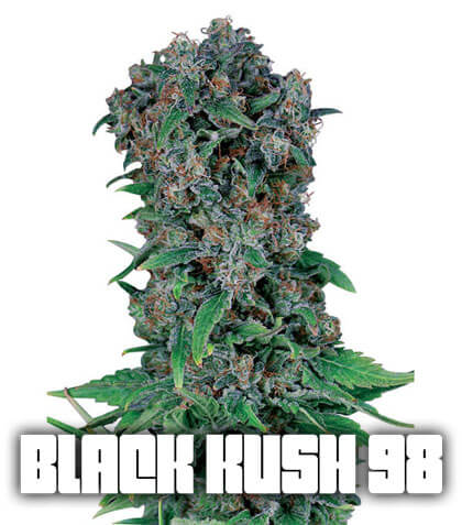 Black Kush 98 Gea Seeds
