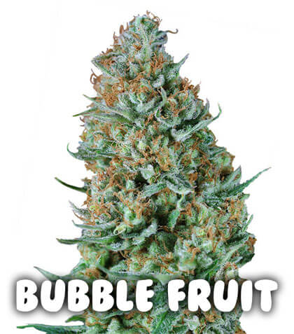 Bubble Fruit Gea Seeds